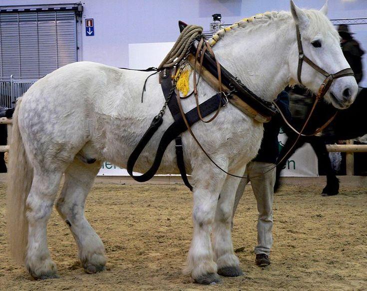 Heavy Horse Breeds - The Percheron