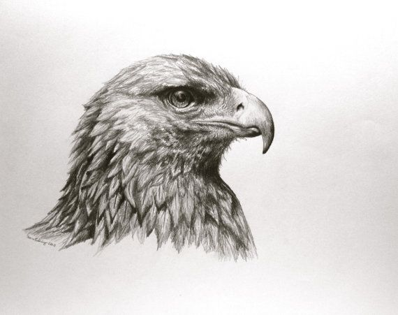 bird golden eagle art  Aquila Chrysaetos In Pencil  by LaurelMae, $60.00