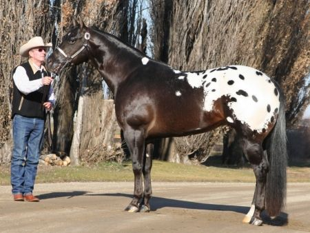 Mr All Inclusive, Appaloosa Stallion in North Dakota | Appaloosa Horses for Sale