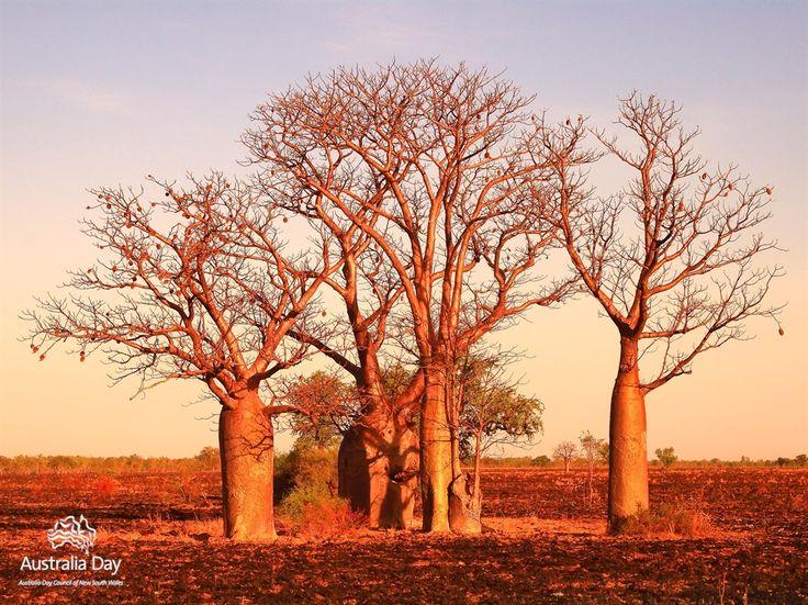 11.    brown land (Boab trees Kimberley WA)
