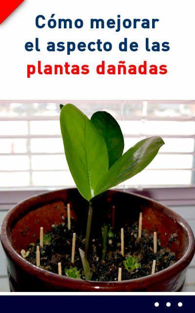 Portulacaria afra reproduccion asexual de las plantas