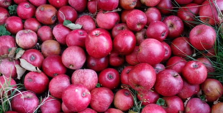 Panenské české: královna mezi jablky