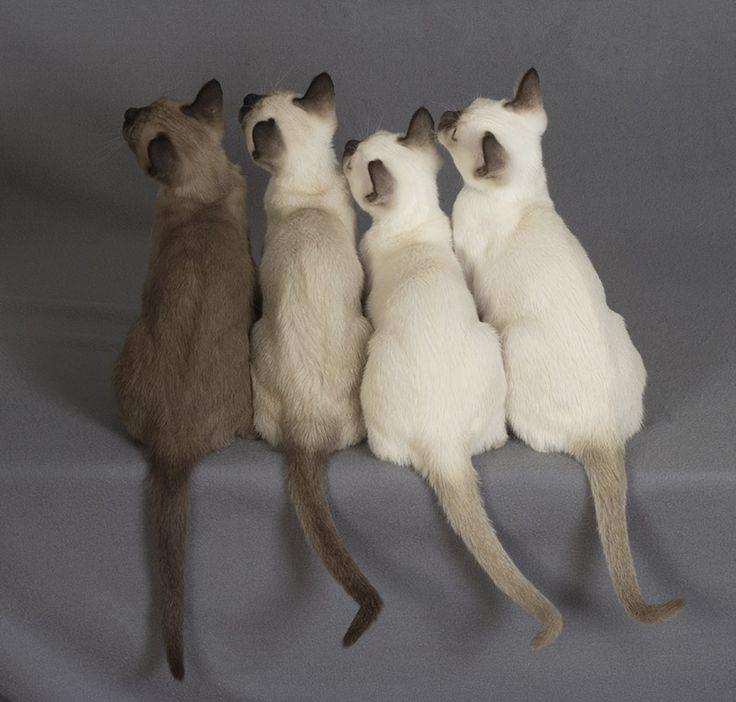 Tonkinese Kittens - short haired version of Birmans for Amma