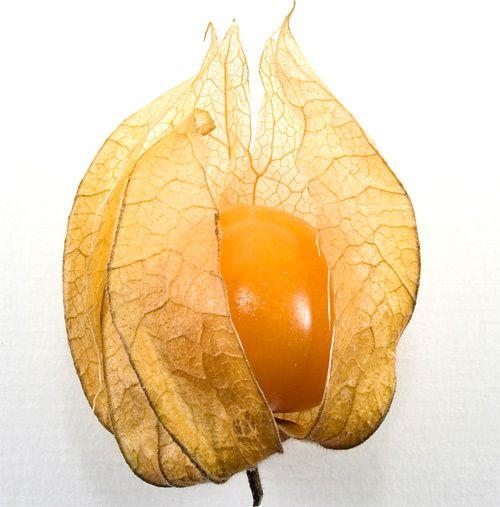 Physalis, alquequenje, tomatillo, corazoncillo, capulina, aguaymanto, uchuva o farolillo chino entre otros, son algunos de los nombres que recibe el fruto que ilustra este post y que cuenta con más de cien especies, de las que algunas son comestibles y otras no, sólo se utilizan para decoración.El Physalis o tomatillo pertenece a la familia de las Solanáceas, una planta perenne d un metro de altura aproximadamente y con un origen dudoso, la variedad Physalis peruviana se liga a Colombia, la…