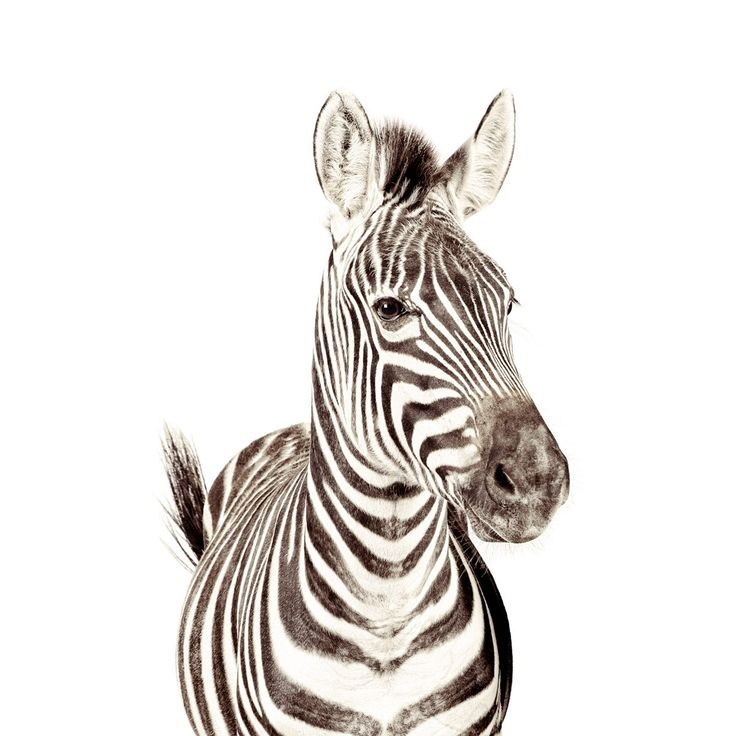 Magnet-Friendly Wallpaper - Zebra - 2 Sizes - 5 magnets included