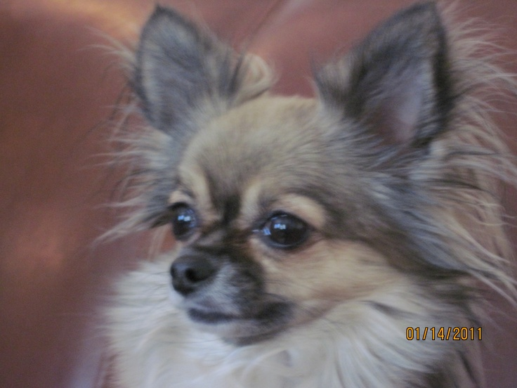 Ginger, female longhaired chihuahua My Pets Pinterest