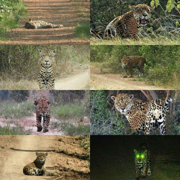 Join us on our spectacular Jaguar watching safaris in Bolivia.  www.nicksadventuresbolivia.com