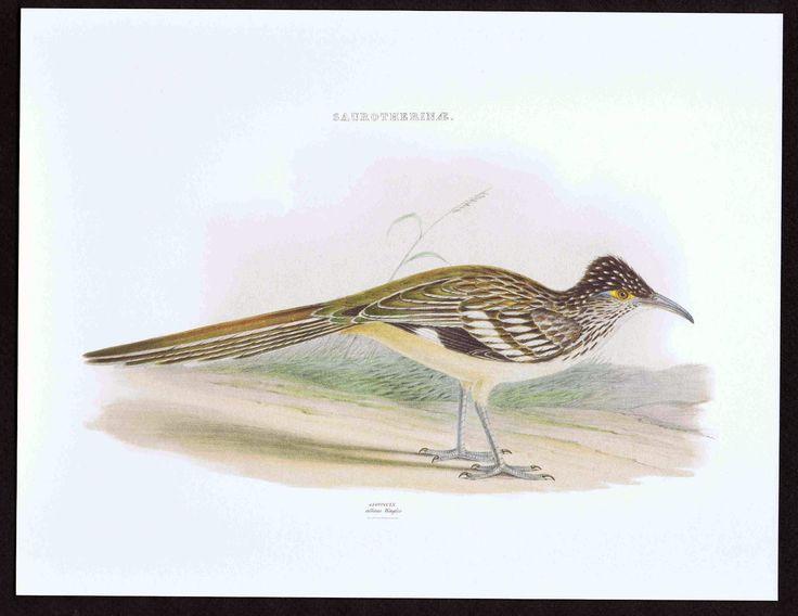 Saurotherinae Geococcyx Roadrunner Color Bird Print | eBay