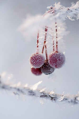 Frozen submerged berries.
