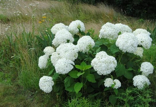 Proven Winners 3 gal. Incrediball Hydrangea Shrub H302715 at The Home Depot - Mobile