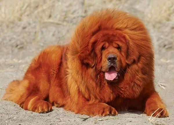 My favorite pet. It like a lion ^^
