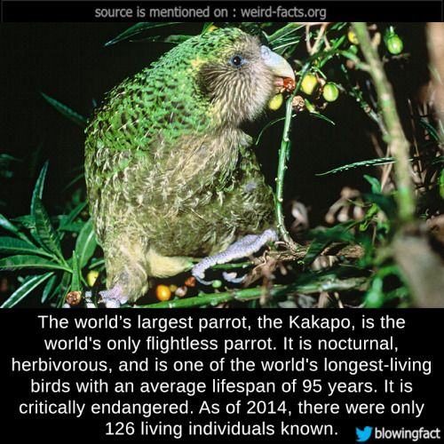 The world's largest parrot, the Kakapo, is the world's only flightless parrot. It is nocturnal, herbivorous, and is one of the world's longest-living birds with an average lifespan of 95 years. It is critically endangered. As of 2014, there were only...