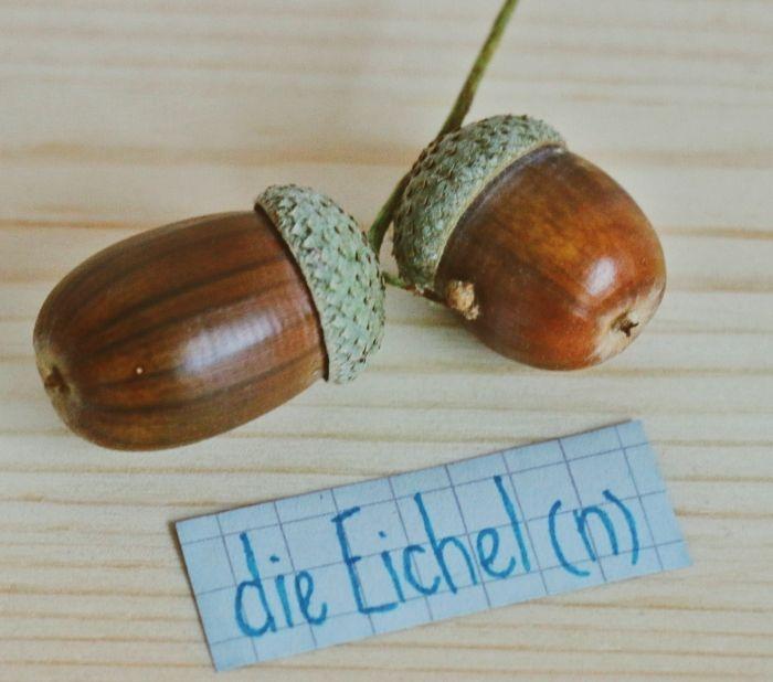 die Eichel - acorn