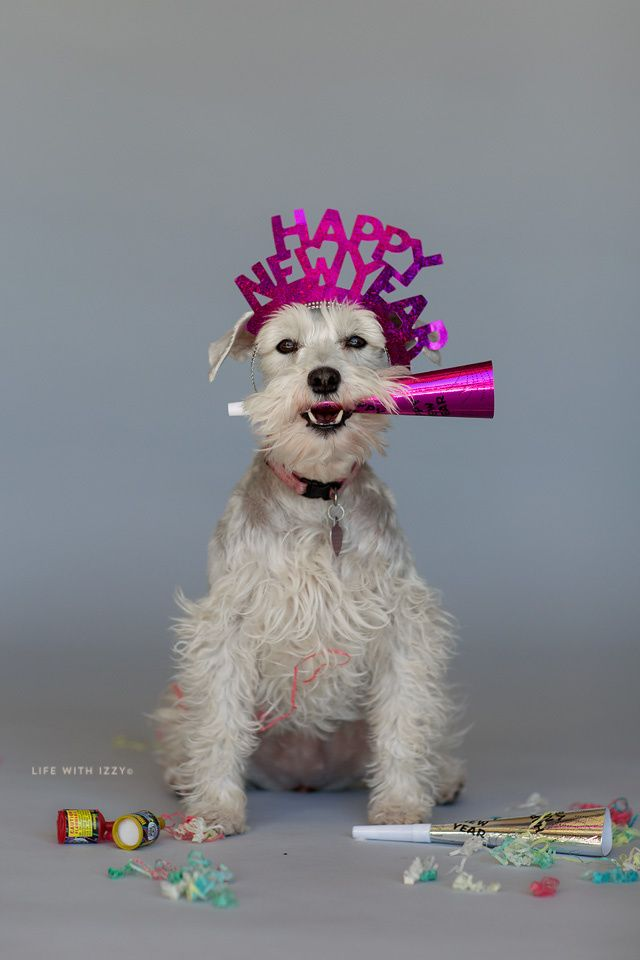 Happy New Year.  LIfe with Izzy.  White miniature schnauzer.  Dog celebrating New Year.