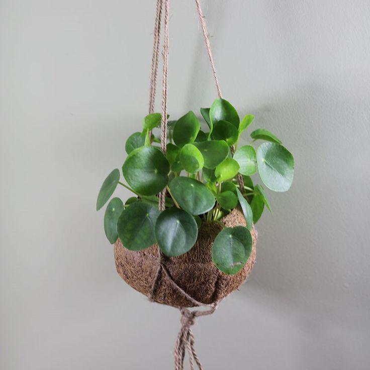 Pilea peperomioides in hanging kokodama pot – Indoor Garden