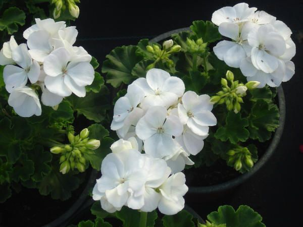 78 best images about White Annuals on Pinterest