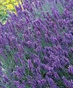 Munstead Lavender  Planting Zones: 5, 6, 7, 8, 9  Plant Type: Evergreen  Light requirements: Full Sun  Soil Conditions: Dry, Well Drained  Height at Maturity: 2 - 3 ft  Growth Rate: Fast  Flowering: Yes  Bloom Color: Purple  Fragrant: Yes  Bloom Season: Summer