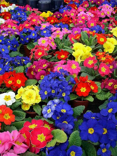 For Color Inspiration, look no further than Primulas! I can't wait for mine to start flowering soon. via Flickr