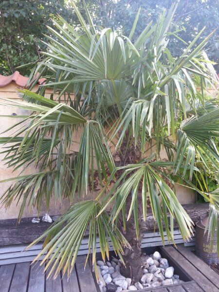 A Trachycarpus fortunei palm in my small exotic garden in north Denmark