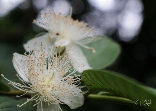Flor del árbol de guayaba