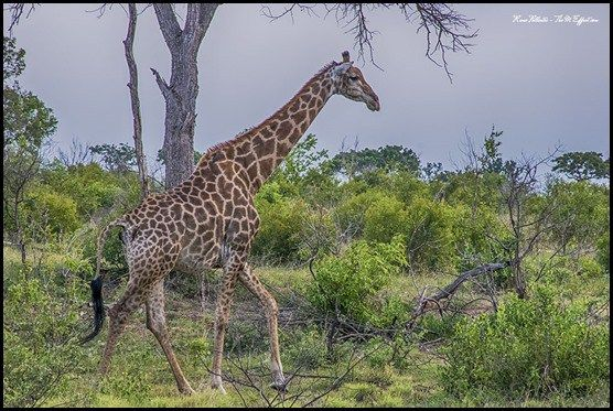 There are over seven thousand giraffe in Kruger Park, which means there is a strong likelihood that you will get to see the world's tallest mammal when visiting this renowned wild life sanctuary.