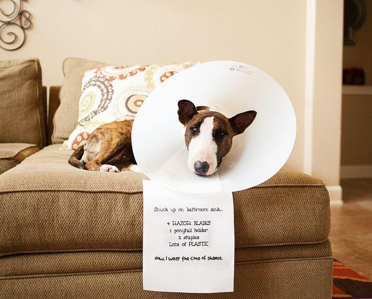 Resultado de imagen para Bull Terriers plastic collar