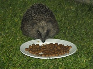 Hedgehog Watch Dublin: Hedgehogs All You Need To Know