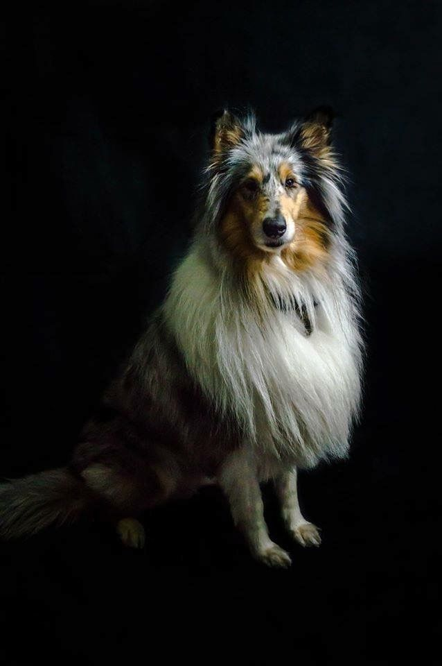 Pin By Becky Isaac On Rough Collies Dogs Rough Collie Koolie Dog