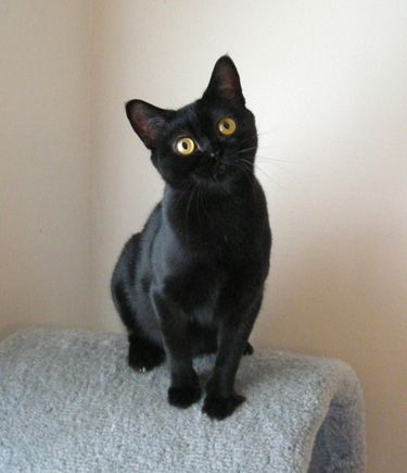 Adorable Bombay cat