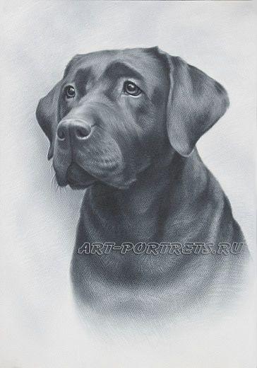 Черный лабрадор, рисунок собаки