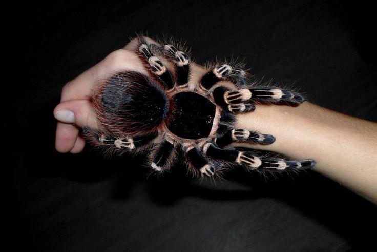 Brazilian whiteknee tarantula (Acanthoscurria geniculata).