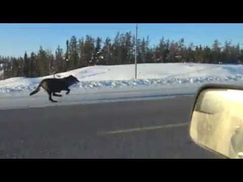 Watch: Monstrous Wolves Run Alongside Car on Highway | Coast to Coast AM  However,