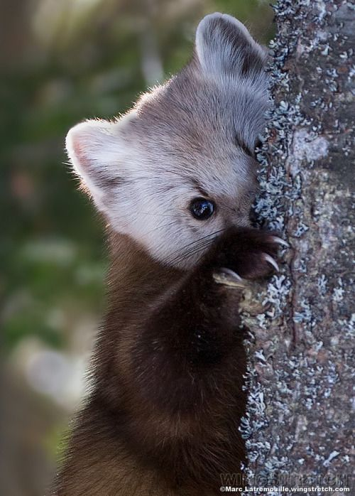 EUROPEAN PINE MARTENS.....found in the forested areas of Europe and northern and western Asia......a body length of 16 - 22 inches, a tail 8 - 11 inches) and a weight of 2 - 4.5 lbs