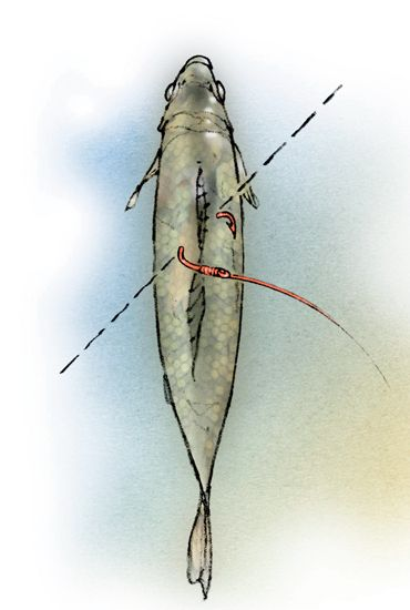 Selecting the right circle hook and catfish rig is critical when using livebait presentations to entice big flatheads.