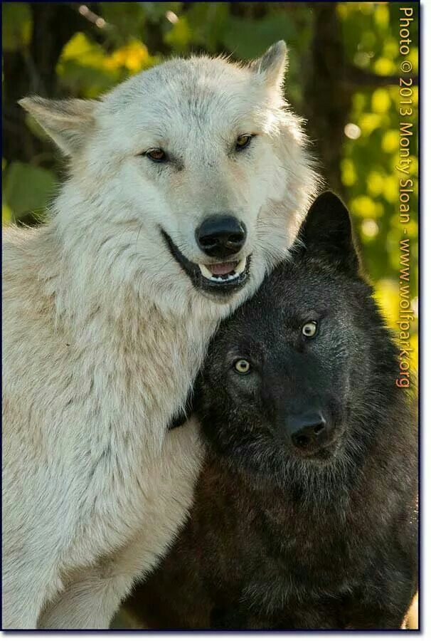 The white wolf looks drunk off his ass and the black wolf is like wtf am I friends with this guy?