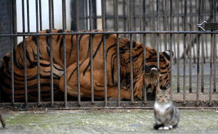 Πρωτόγνωρες εικόνες -Η τεράστια επιχείρηση μεταφοράς του καταθλιπτικού τίγρη Φοίβου των Τρικάλων στις ΗΠΑ για νοσηλεία [εικόνες] | iefimerida.gr