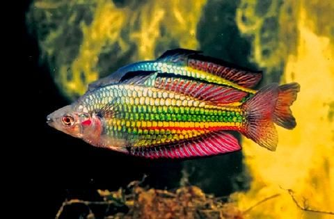 Australian rainbowfish wow mine never got that colorful for Rainbow fish species
