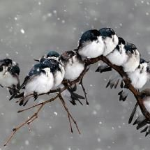 We must, indeed, all hang together, or assuredly we shall all hang separately. - Is that from Mutiny on the Bounty? http://pixdaus.com/tree-swallows-birds-tree-swallows/items/view/512043/