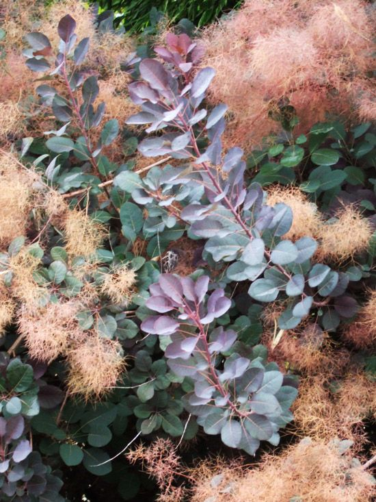 'Velvet Cloak' Smokebush. Ideal for back-of-the-border locations, smokebush shows off velvet-purple foliage that turns a rich shade of orange-red in the fall. It also bears fluffy clusters of pink flowers in early summer. The plant is quite easy to grow, thriving in a wide range of soil types.   Size: To 15 feet tall and wide  Zones: 5-8