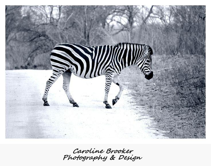 Pregnant Female Zebra  Sabi Sands , Mpumalanga