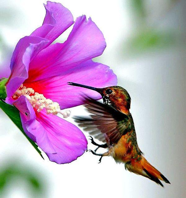Hummingbird%20