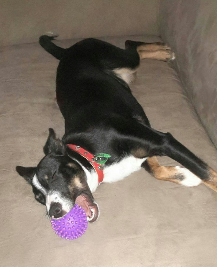 When I lay me down to sleep, in my mouth a ball I keep. If you should try my ball to take, I'll bark the neighbourhood awake.