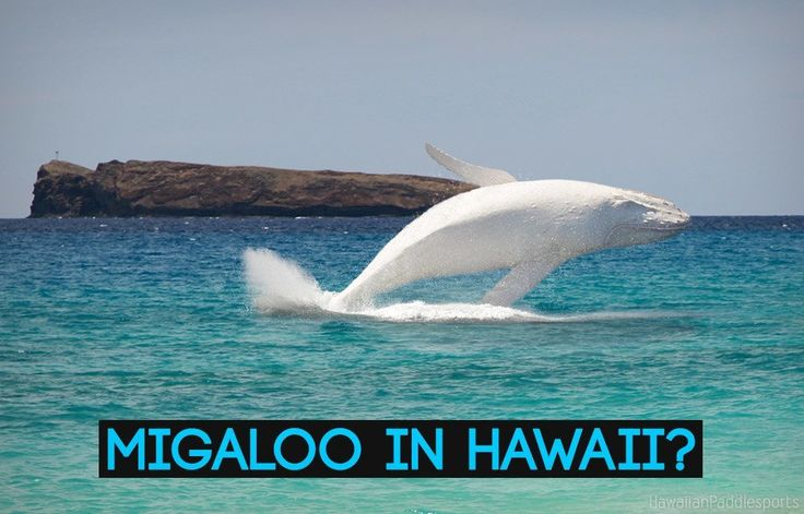 Migaloo Spotted In Hawaii?   Famous White Humpback Whale