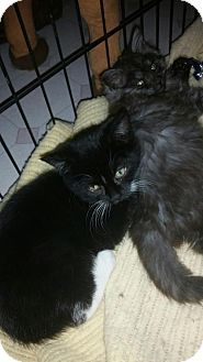 Parker Ford, PA - Domestic Mediumhair. Meet Nani' a Kitten for Adoption.