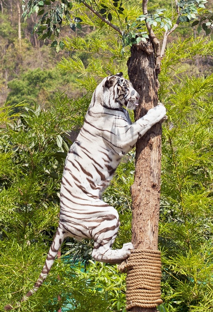 Huge White tiger in a tree