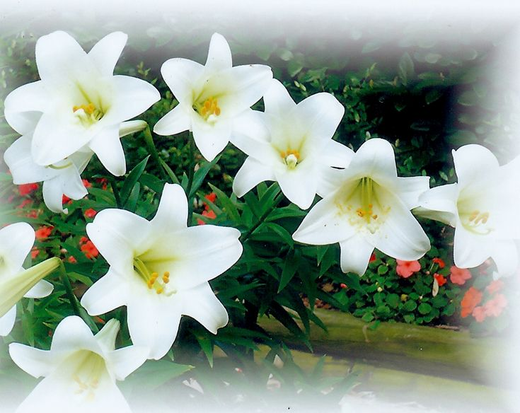 Pictures of Blooming Easter Lilies in our Backyard