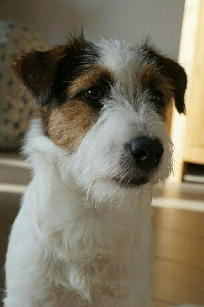 1000 Ideas About Parson Russell Terriers On Pinterest