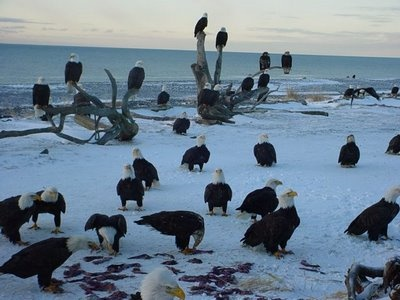 Taken in Comox BC- A beautiful morning feeding the eagles. Jan.2009