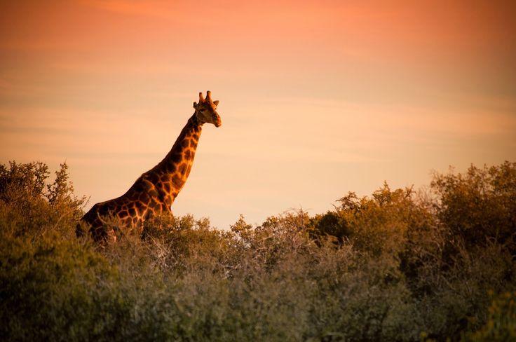 Giraffe at Buffelsdrift, #Oudtshoorn.
