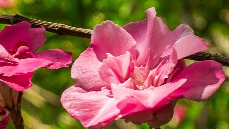 キョウチクトウ(夾竹桃、学名: Nerium oleander var. indicum)とは、キョウチクトウ科キョウチクトウ属の常緑低木もしくは常緑小高木である。  和名は、葉がタケに似ていること、花がモモに似ていることから。